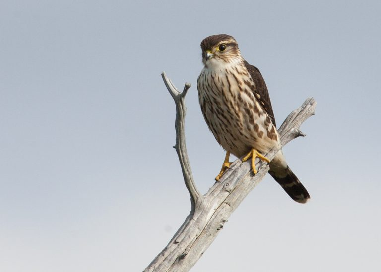 a merlin perched on a branch