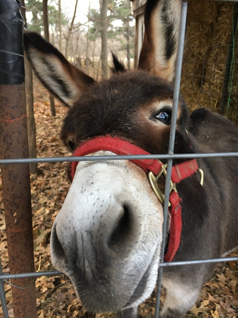 Cute Donkey Looking for Attention