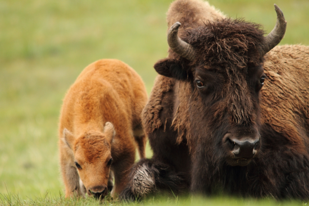 Bison Cow and calf; Photo credit: © Gary Fua