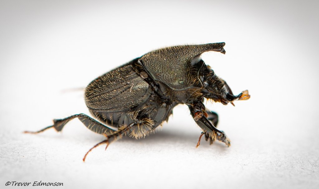 Scooped Scarab