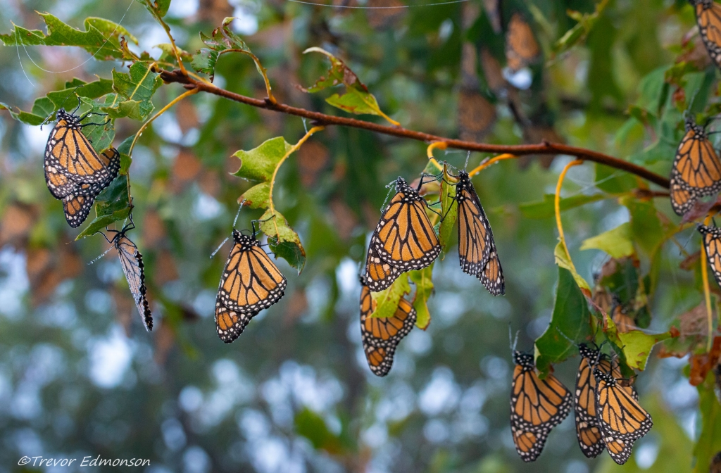 Monarchs Roosting on a Tree