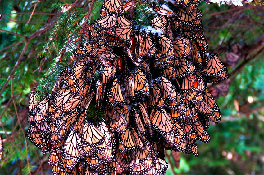 Group of monarchs gathered on a branch