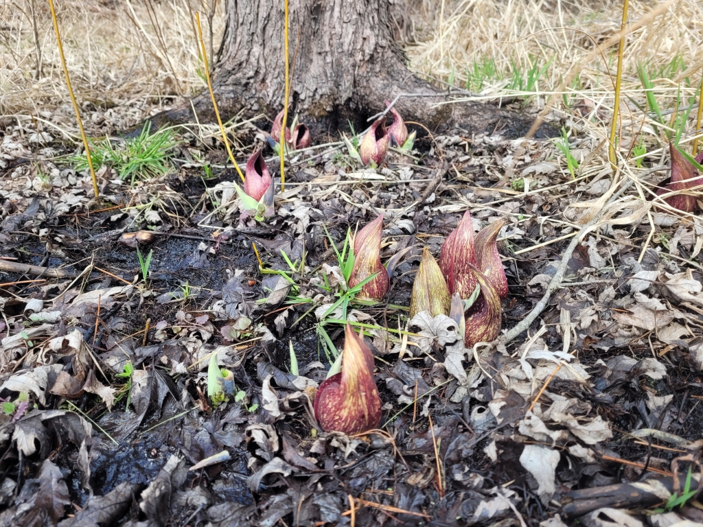 Skunk Cabbage blooming | Photo credit: A. Nyberg