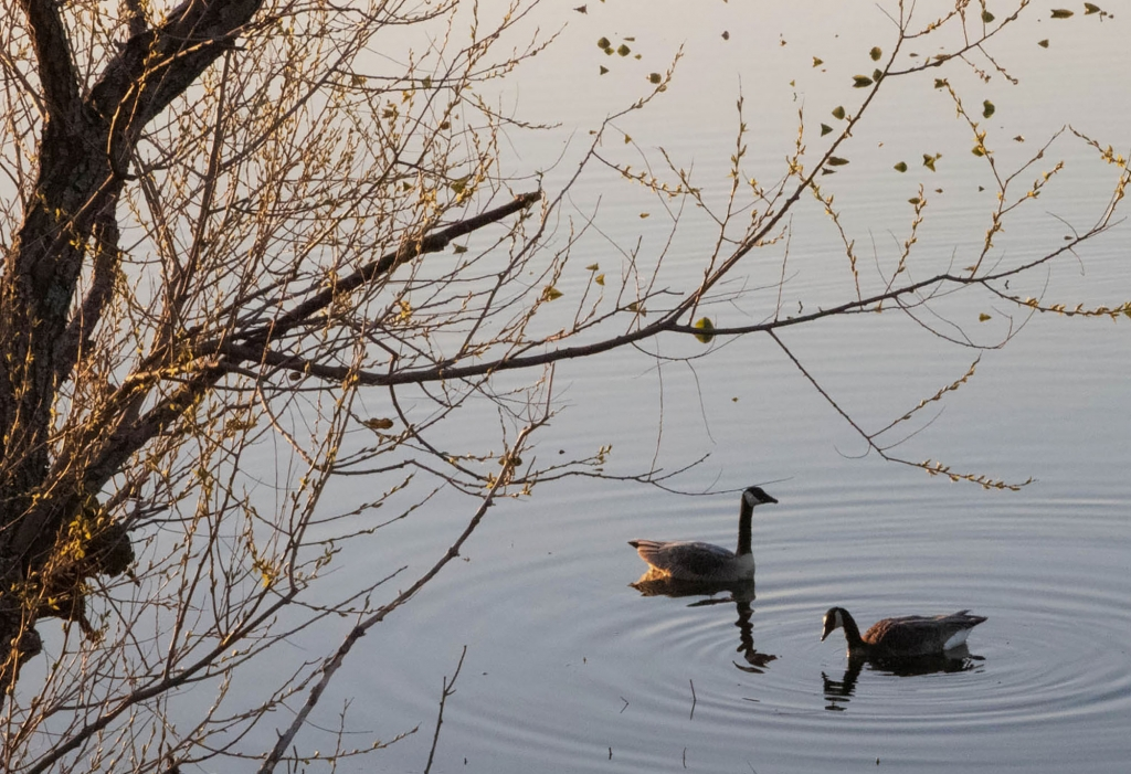 Geese swimming